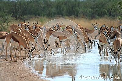 Wild springbok drinking