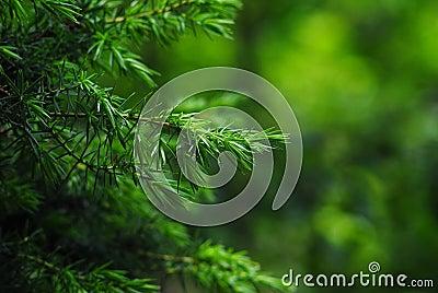 Wild Spruce