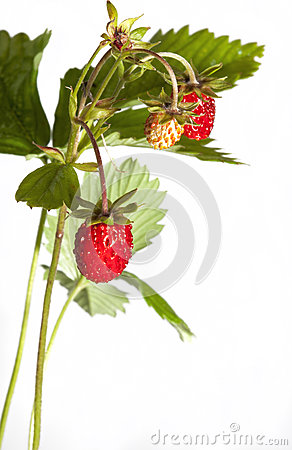 Wild srawberry
