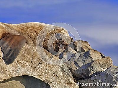 Wild Steller Sea Lion