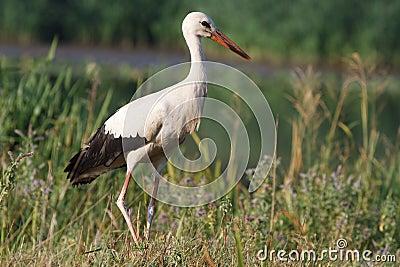 Wild stork