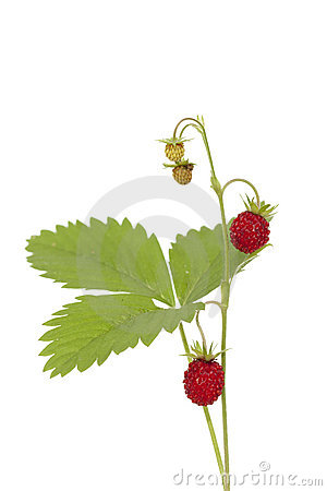 Free Wild Strawberry Stock Photography - 23118002