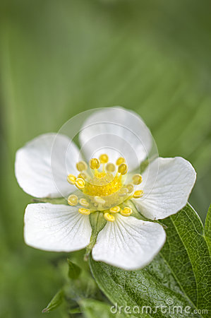 Free Wild Strawberry Flower Royalty Free Stock Image - 40297716