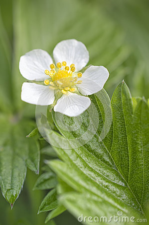 Free Wild Strawberry Flower Stock Photos - 40297723
