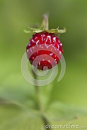 Wild strawberry, Fragaria vesca
