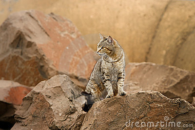 Wild stray cat among rocks