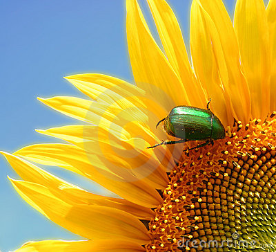 Wild sunflower and a green bug