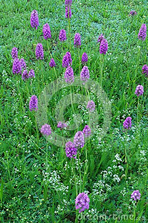 Wild swampland orchids, protected flower species