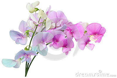Wild Sweet Pea Flowers