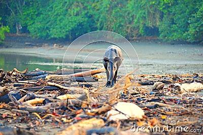 Wild Tapir