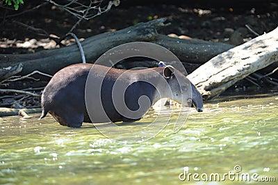 Wild tapir in river,corcovado ,costa rica