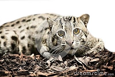 Wild tiger cat