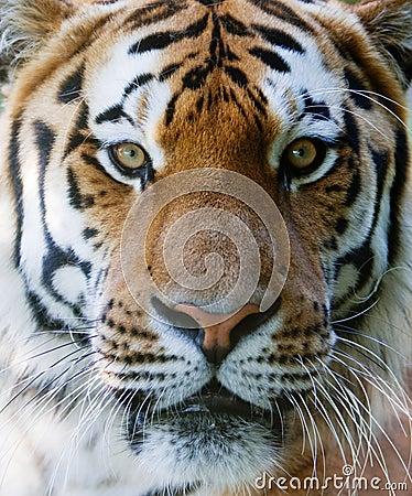 Wild tiger face