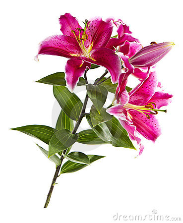 Free Wild Tiger Lily Stock Photo - 20608410