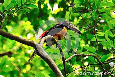 Wild Toucan, Guatemala