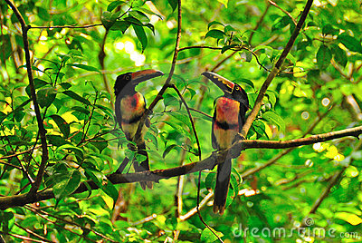 Wild Toucans, Guatemala