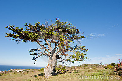 Wild tree at the Cape of Good Hope peninsula