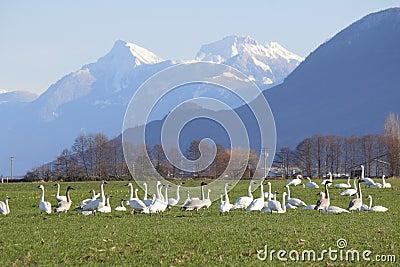 Wild Trumpeter Swans