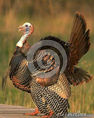 Free Wild Turkey 7 Stock Image - 767991