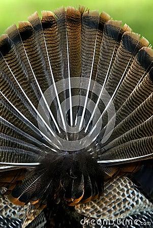 Wild Turkey fan tail (Meleagris gallopavo)