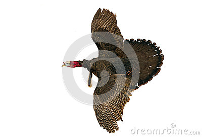 Wild turkey isolated