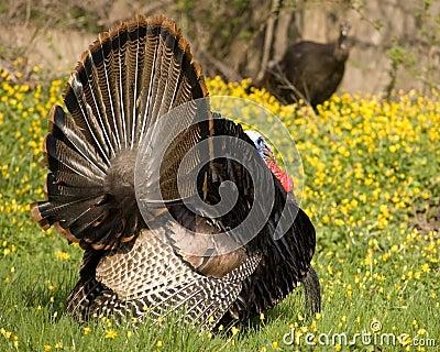 Wild Turkey Strutting