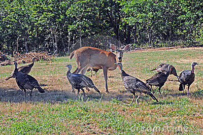 Wild turkeys and deer