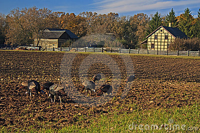 Wild turkeys foraging in a farmer s field