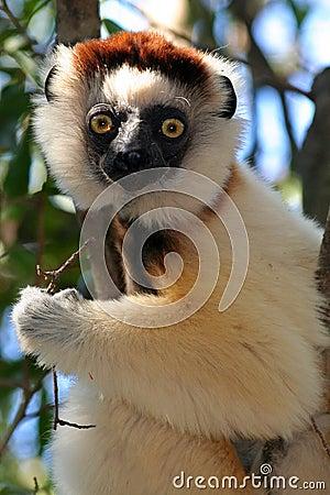 Wild Verreaux s sifaka lemur, Madagascar