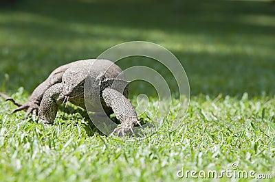 Wild waranus in chase of a prey