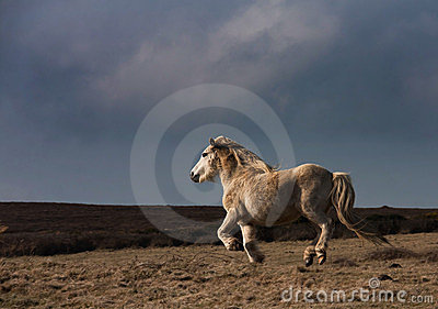 Wild Welsh Pony