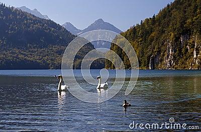 Wild white swans on Alpsee
