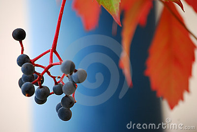 Wild wine in autumn