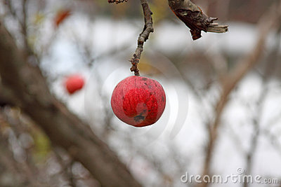 Wild winter apple