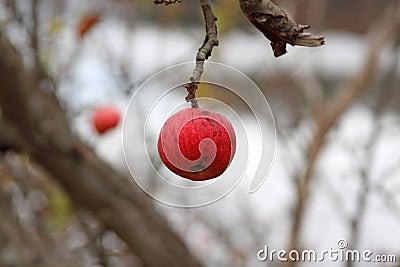 Wild winter apple