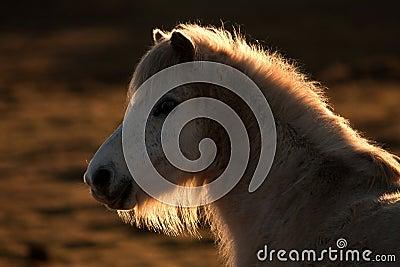 Wild Wlesh Pony