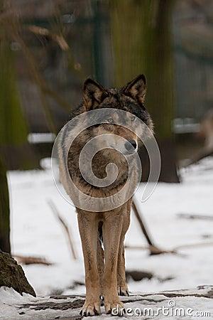 Free Wild Wolf Stock Image - 11347311