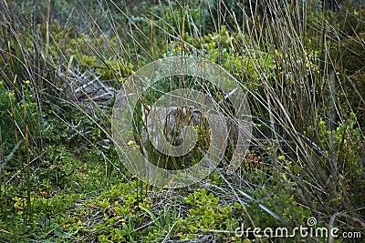 Wild Wombat