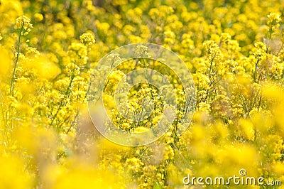 Wild yellow flowers