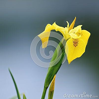 Free Wild Yellow Iris (Yellow Flag ) Stock Photos - 54596233
