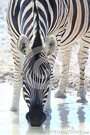 Wild zebra drinking