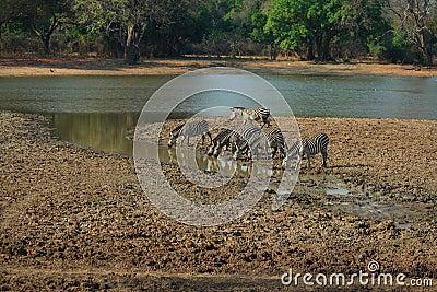Wild zebra s drinking