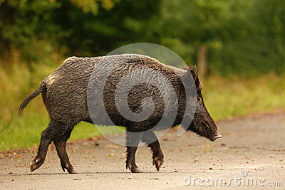 Wildboar crossing main road