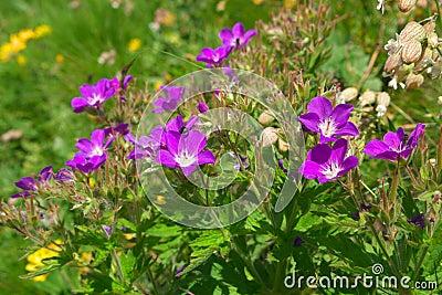 Wilde bergbloemen