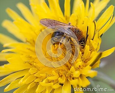Wilde Biene bei der Arbeit
