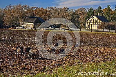 Wilde kalkoenen die op het gebied van een landbouwer voederen