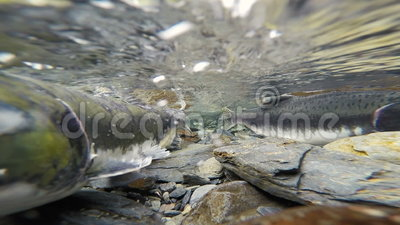 Wilde pazifische rosa Salmon Spawning Clear Glacier Stream-Tier-wild lebende Tiere