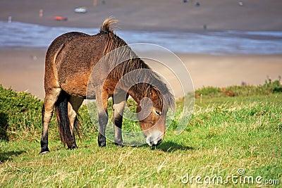 Wilde poney