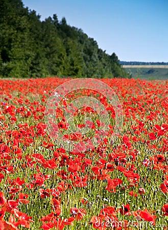 Wilde rote Mohnblume