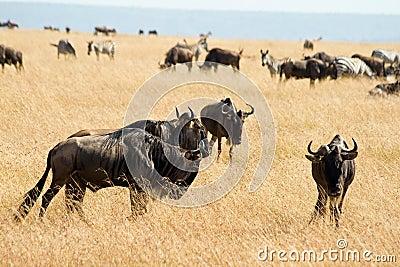 Wildebeest в национальном парке Mara Masai